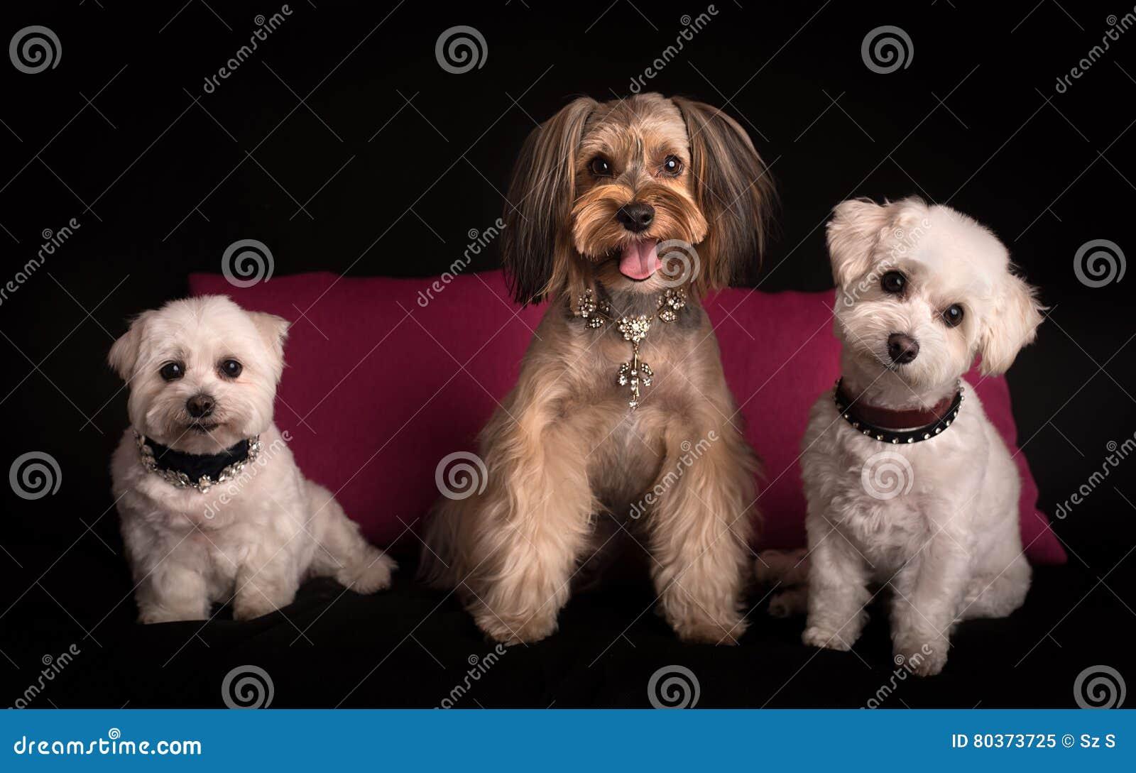 Leuk het Westenhoogland Wit Terrier die op zwarte zitten