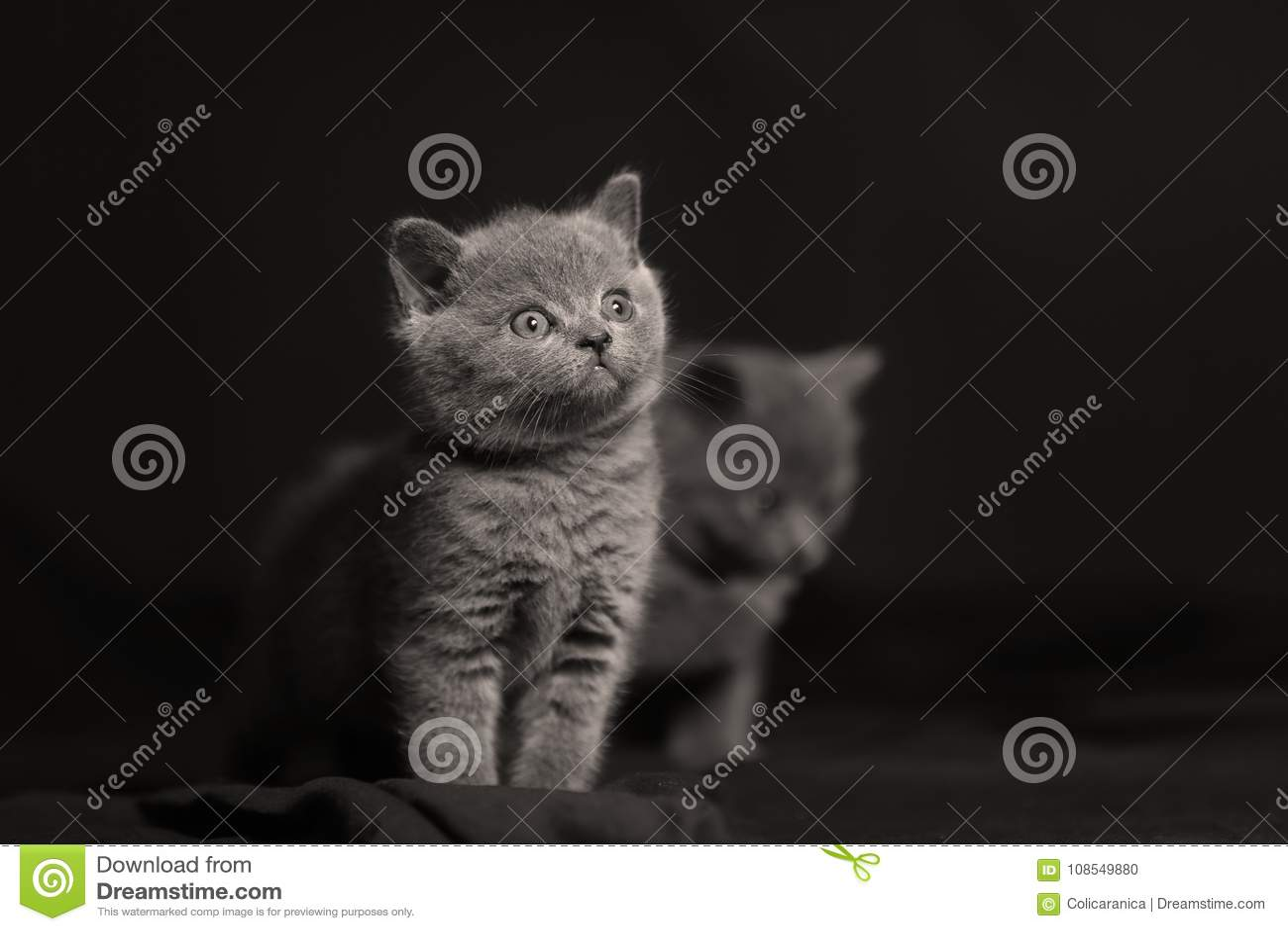 Leuk katje geïsoleerd portret, zwarte backgrouns