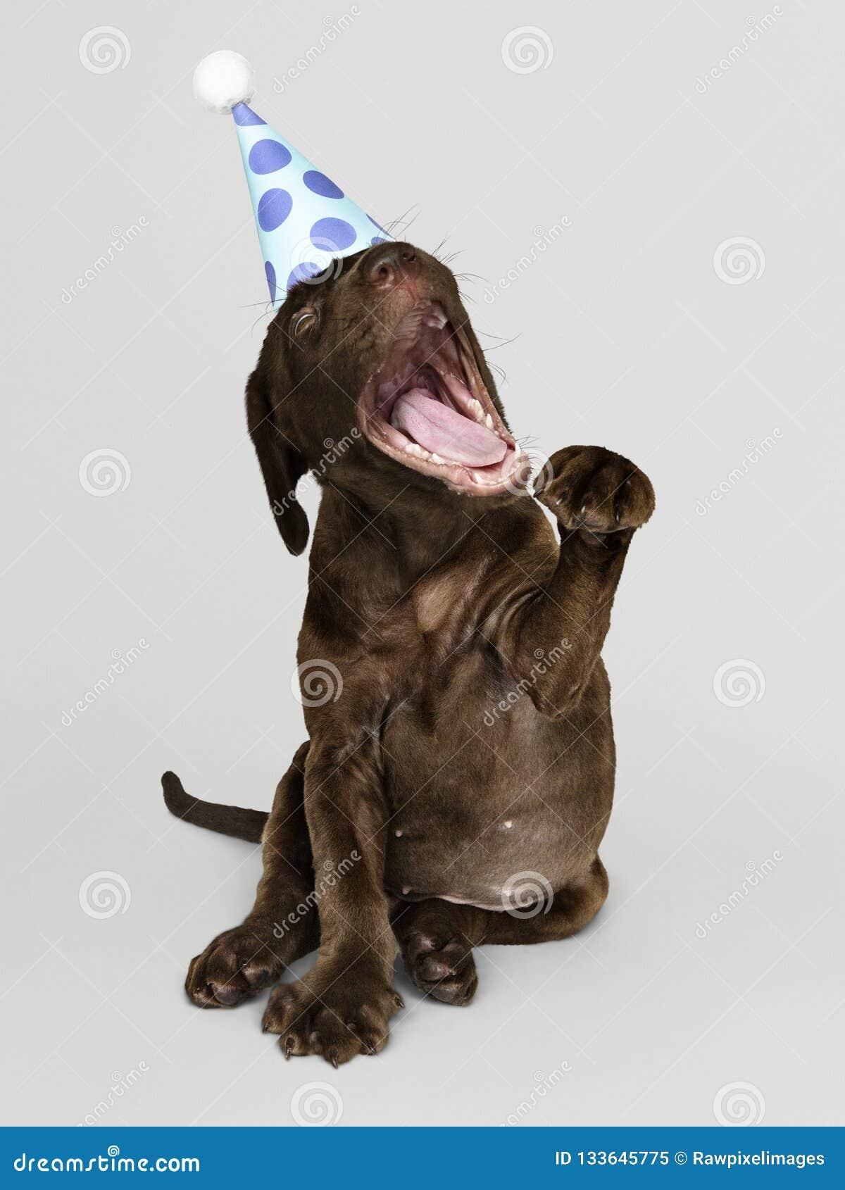 Leuk Labradorpuppy met een partijhoed