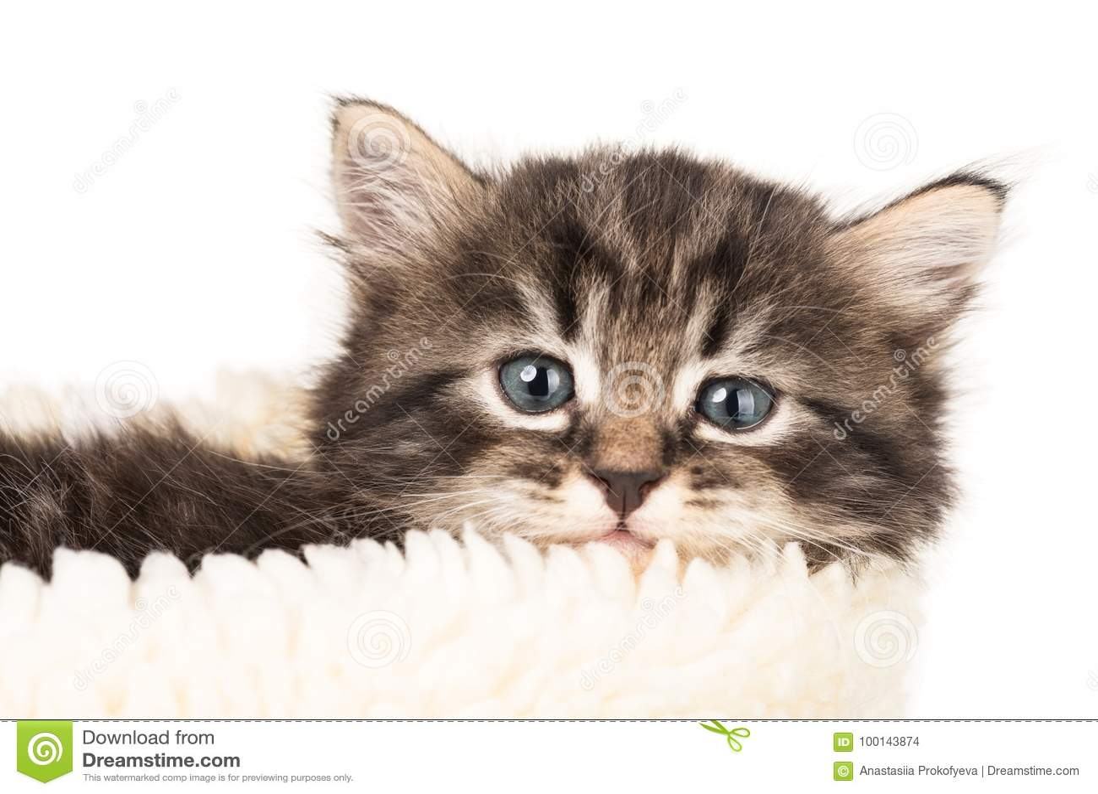 Leuk Siberisch katje