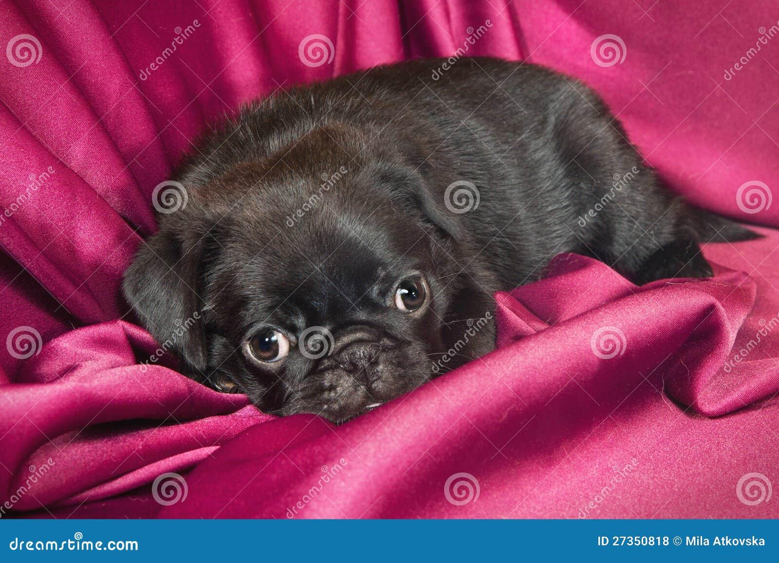 Leuk slaperig pug puppy