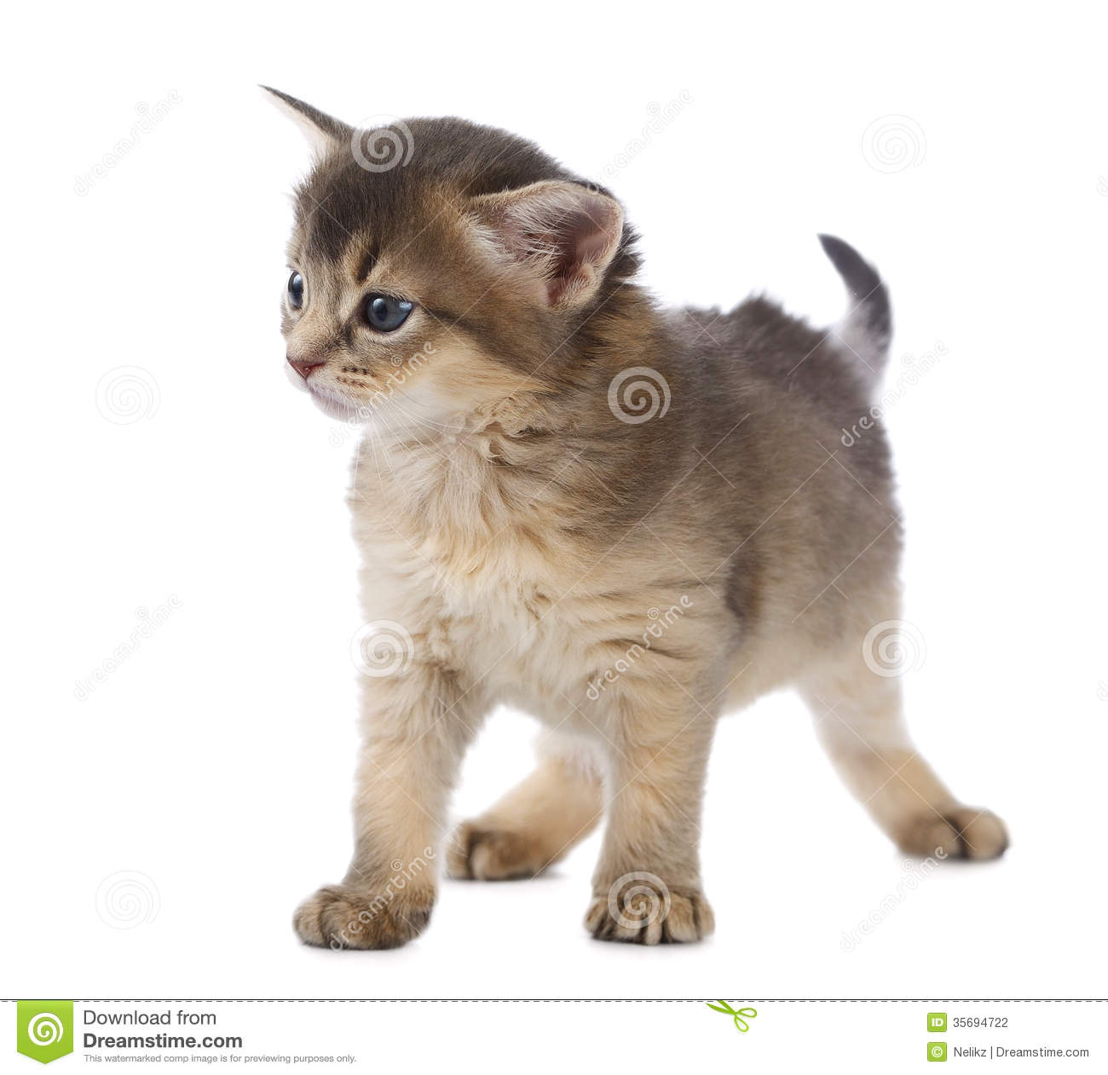Leuk Somalisch katje