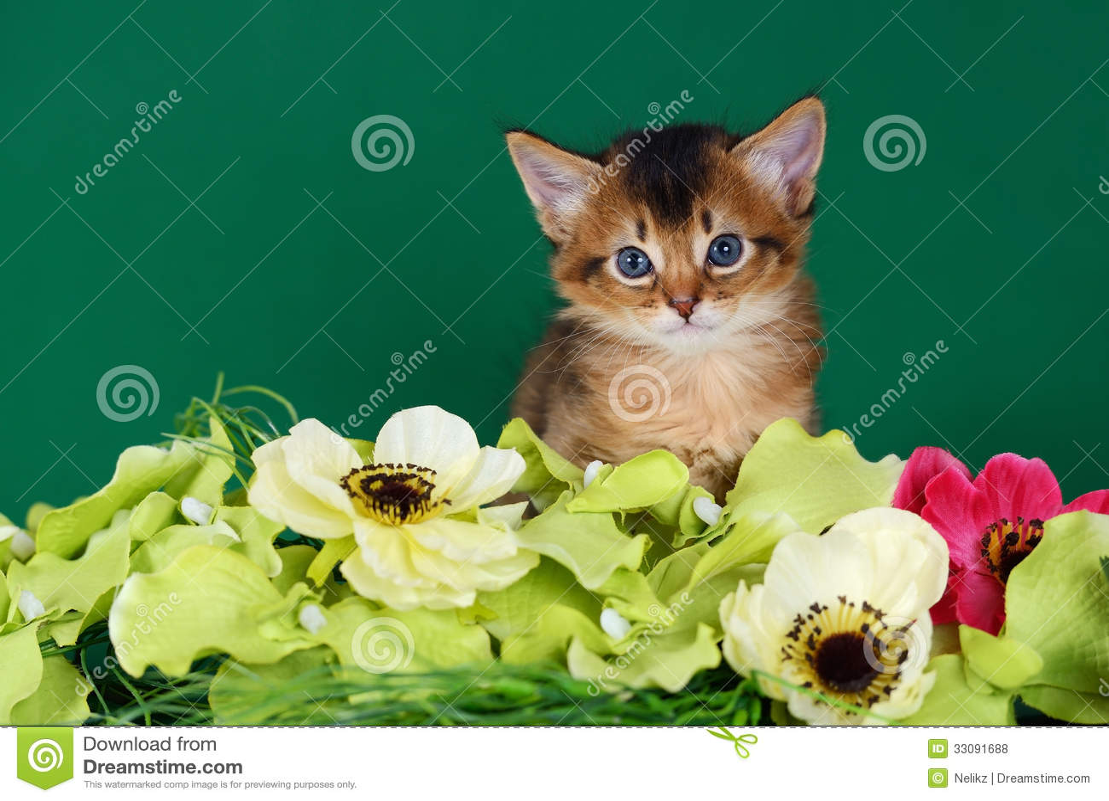 Leuk Somalisch katje op de groene achtergrond