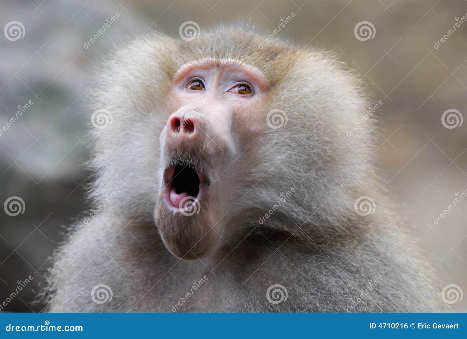 Leuk uitziende baviaan