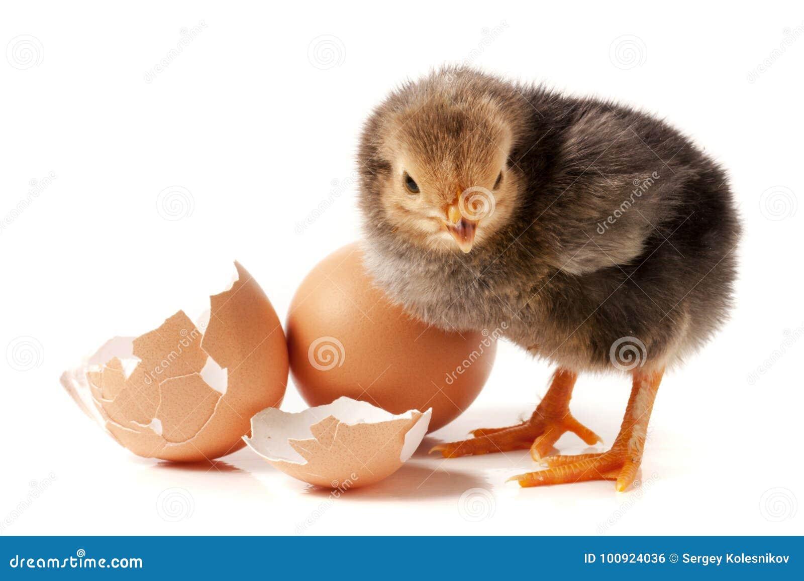 Leuk weinig kip met ei op witte achtergrond