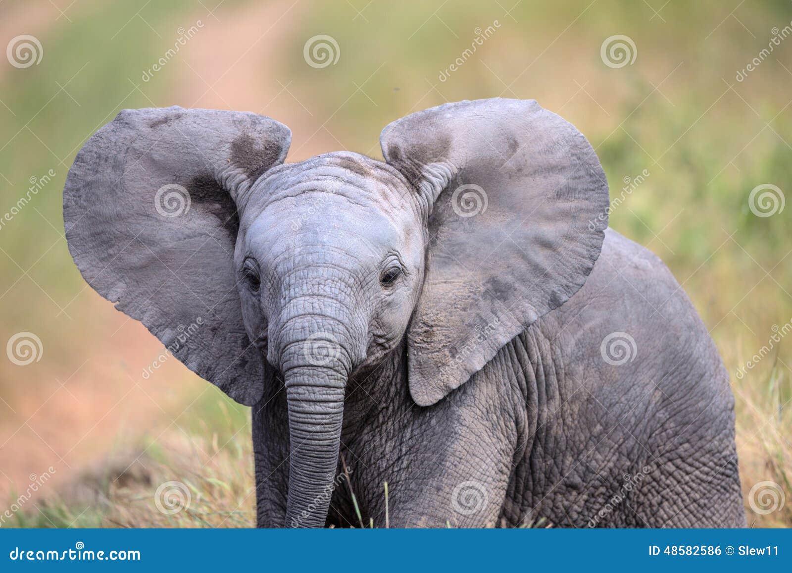 Leuke Babyolifant die door een gebied in het Nationale Park van Kruger lopen