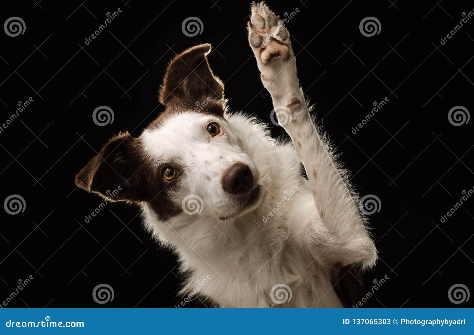 Leuke bruine en witte Border collie-hondgolven en hoge fives bij de camera met een zwarte achtergrond