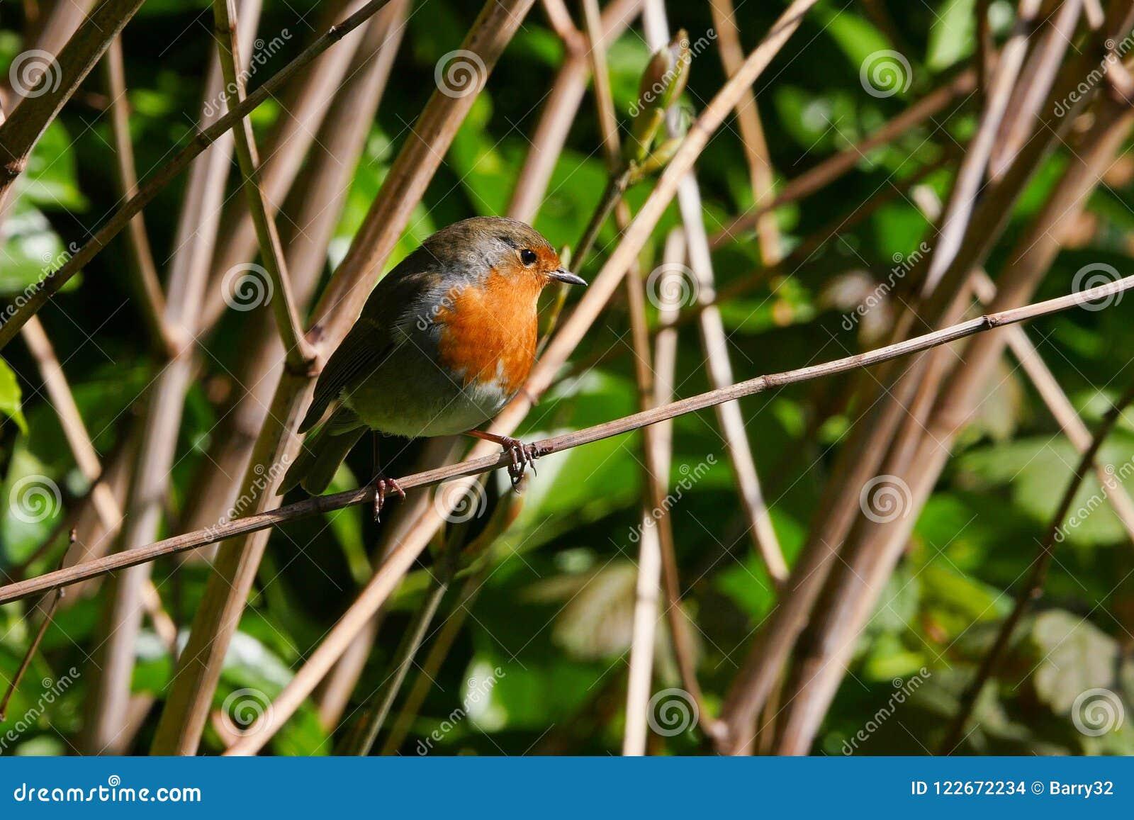 Leuke Europese Robin/Erithacus-de rubeculavogel streek op een tak in de zomer neer