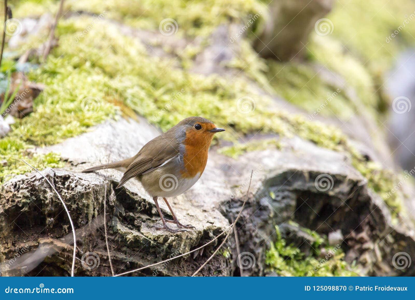 Leuke Europese Robin - erithacusrubecula - op een boomstam