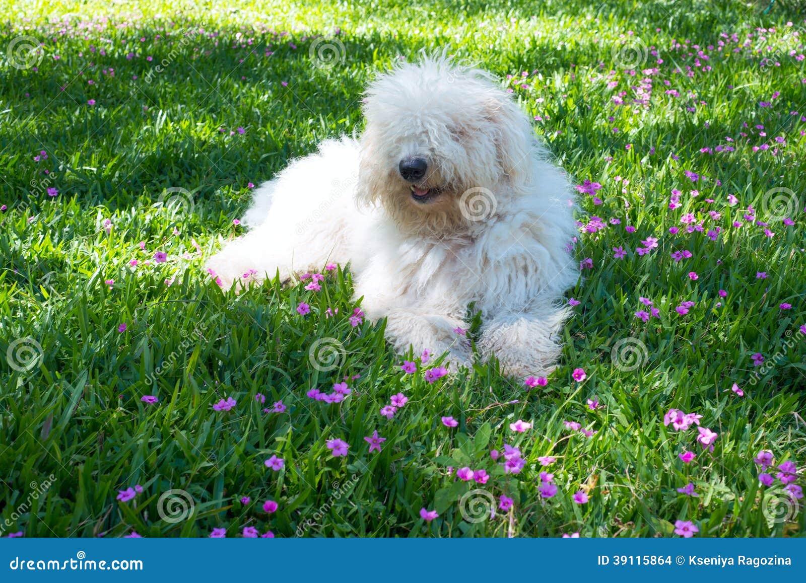 Leuke jonge hond Komondor