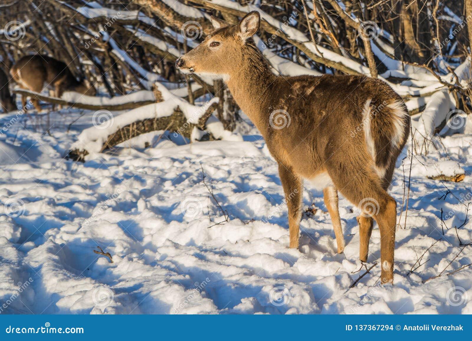 Leuke jonge pluizige hertengangen in het sneeuwbos, de V.S.