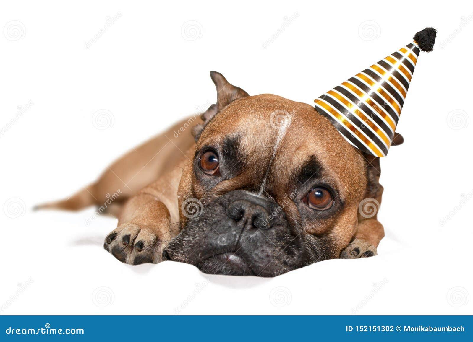 Leuke kleine Franse Buldoghond met zwarte en gouden van de partij nieuwe jaar of verjaardag partijhoed op hoofd die op witte acht