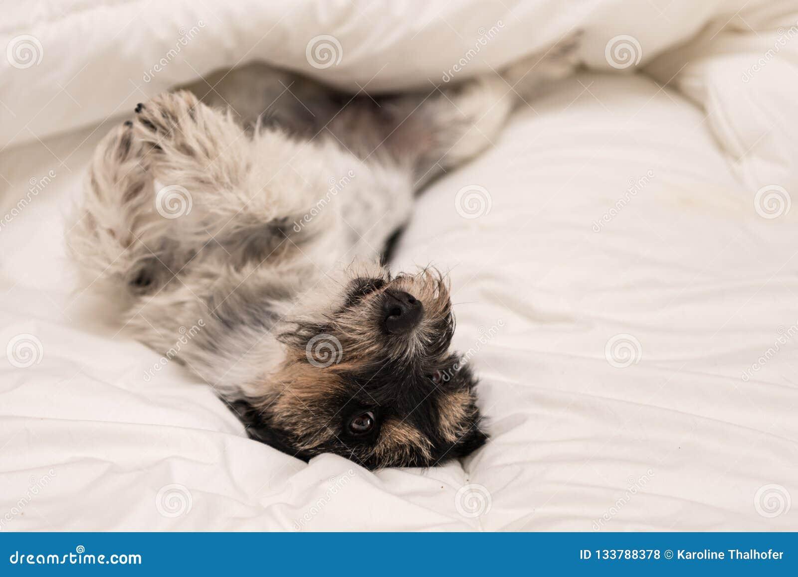 Leuke kleine hondslaap in bed met wit beddegoed - hefboom Russell
