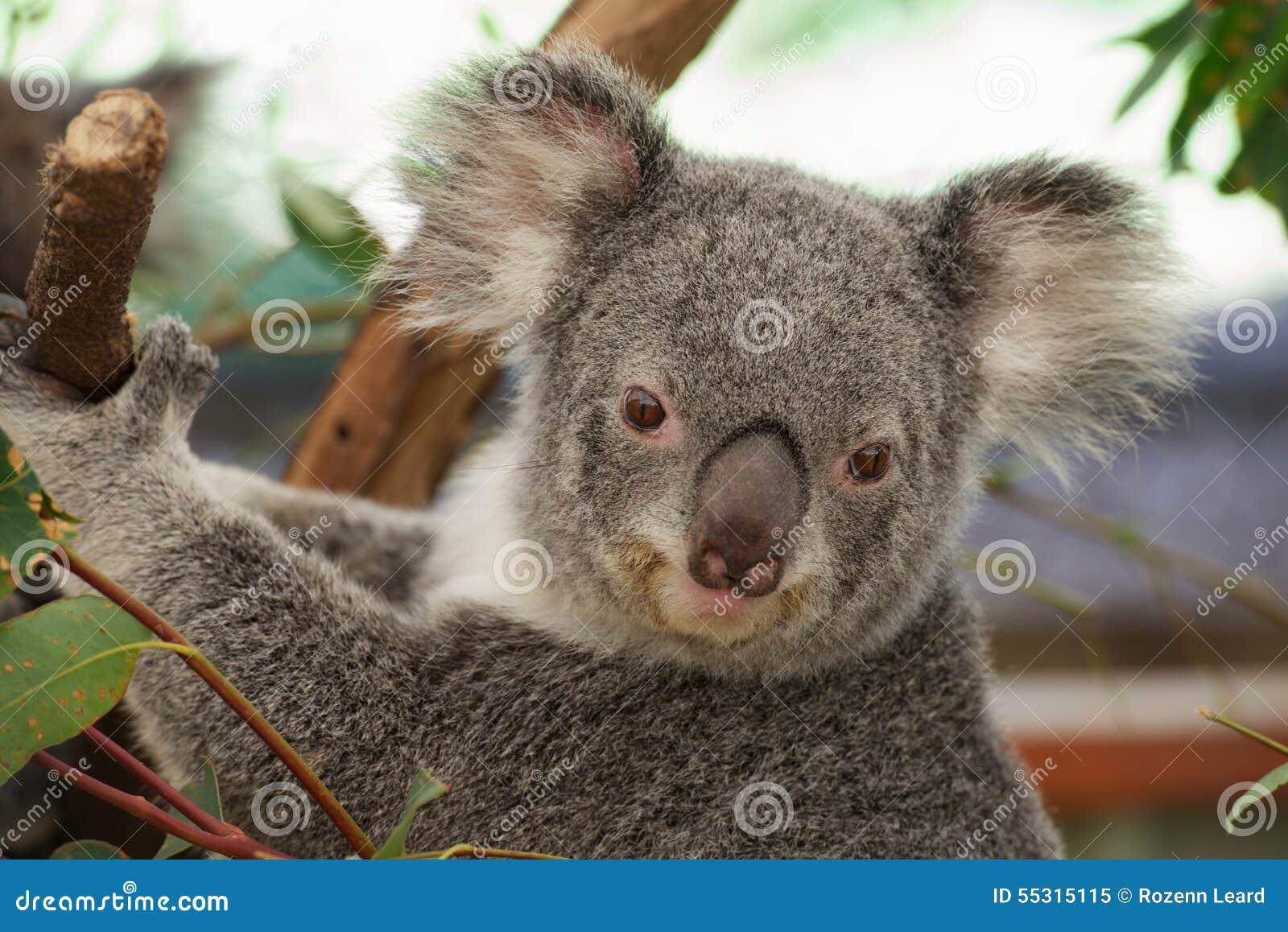 Leuke koala