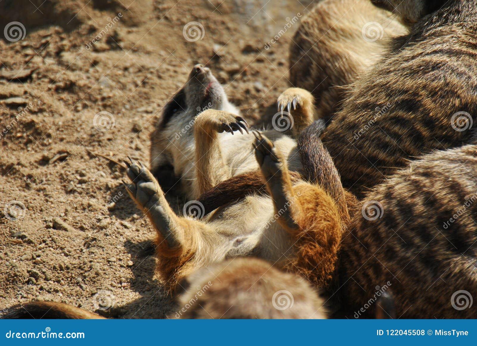 Leuke meerkat die op zijn rug zonnebaden die van de zomer genieten