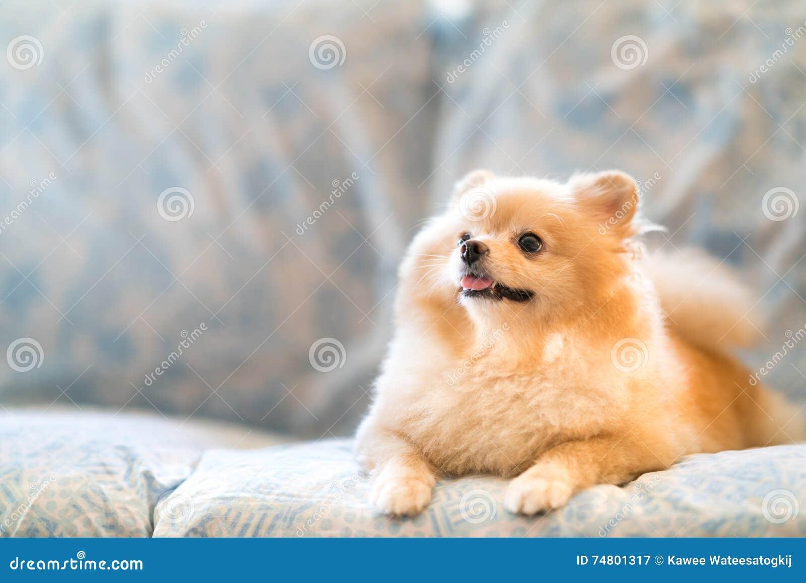Leuke pomeranian hond die op de bank glimlachen, die stijgend aan exemplaarruimte kijken