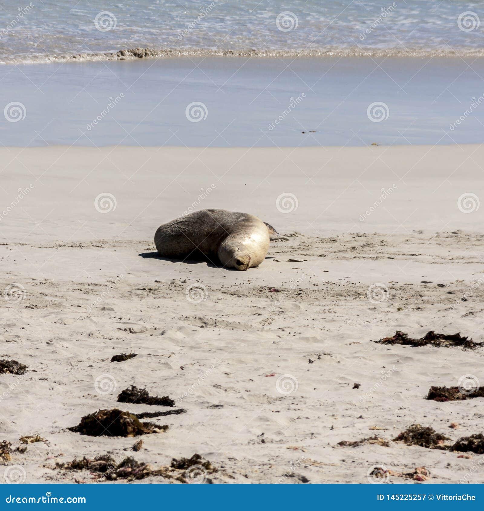 Leuke slaap Australische Zeeleeuw ( Neophoca cinerea) voor de kustlijn van het Kangoeroeeiland, Zuid-Australië, Verbindingsbaai