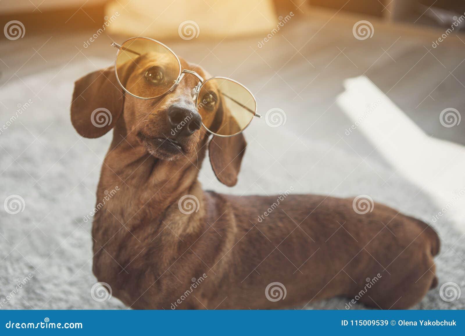 Leuke tekkelhond die glazen dragen