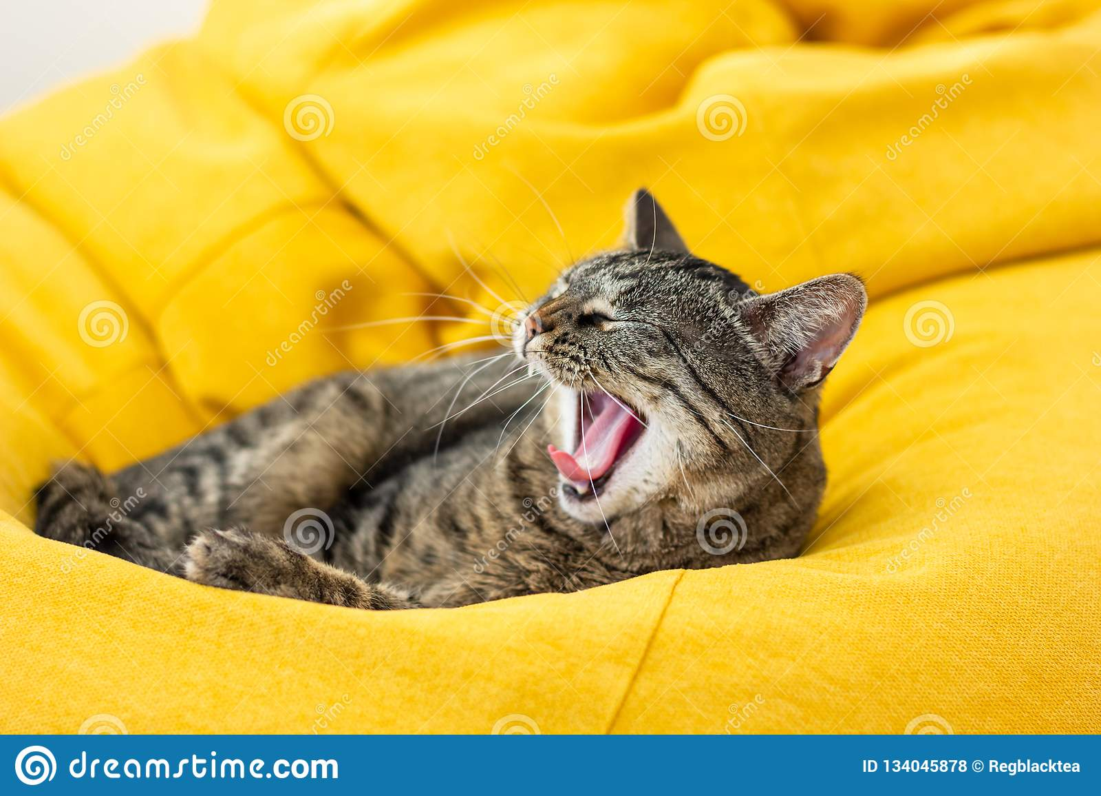 Leuke tijgerkat die op helder geel kinderspel liggen