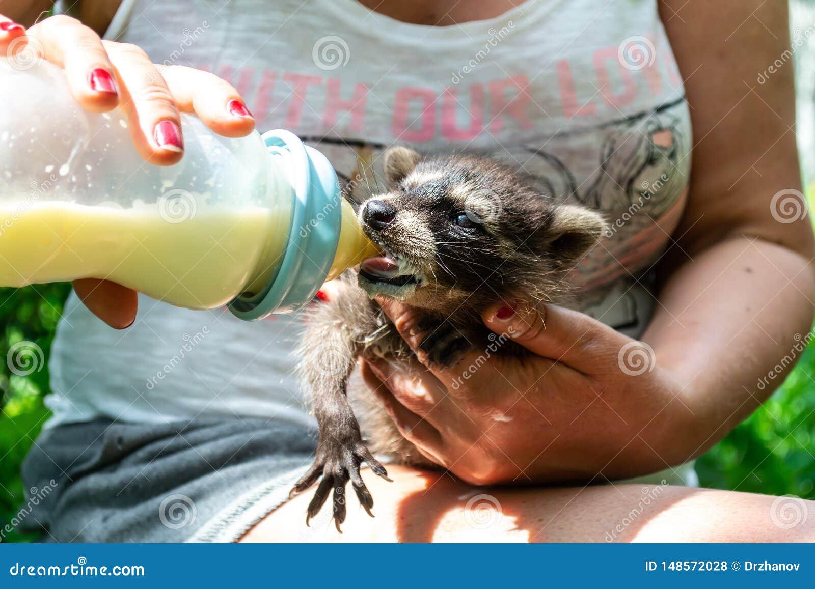 Leuke wasbeerbaby die omhoog voedend door middenleeftijdsvrouwen zijn die de fles melk in haar handen houdt