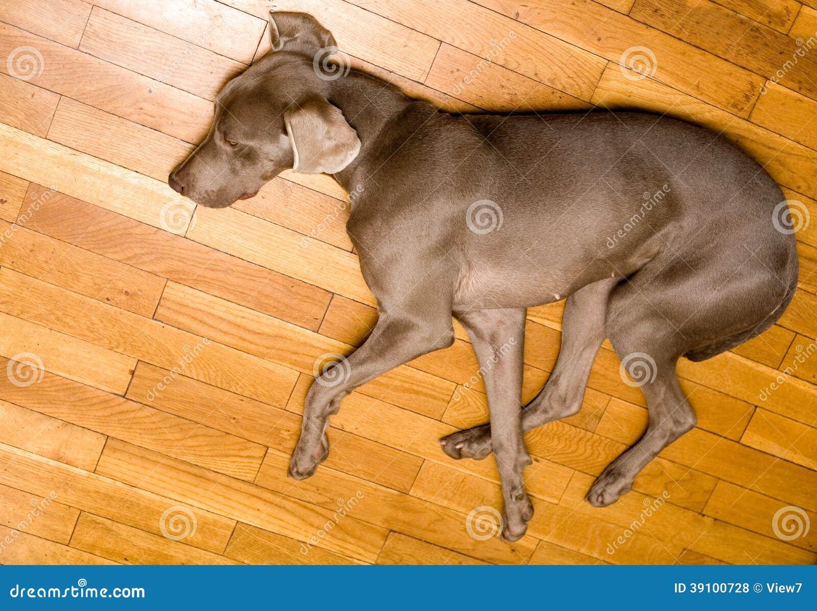 Leuke weimaranerhond