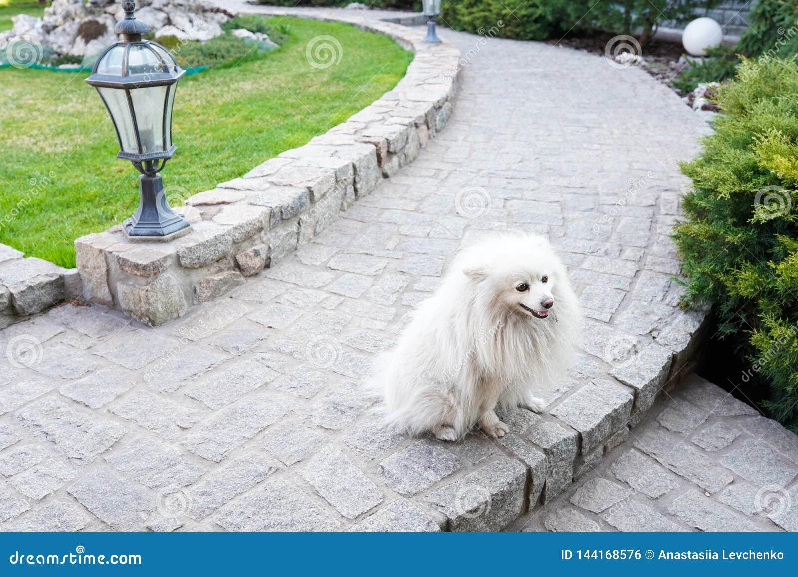 Leuke witte spitz hond die in het park in warme de lentedag lopen Dierlijke achtergrond