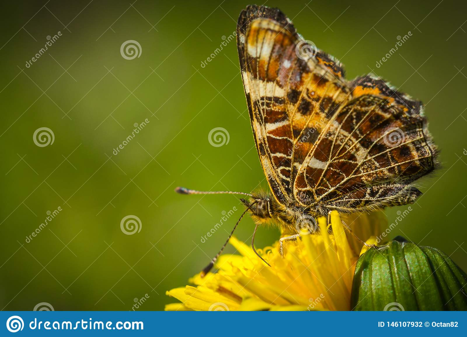 Levana de Araschnia da borboleta do mapa