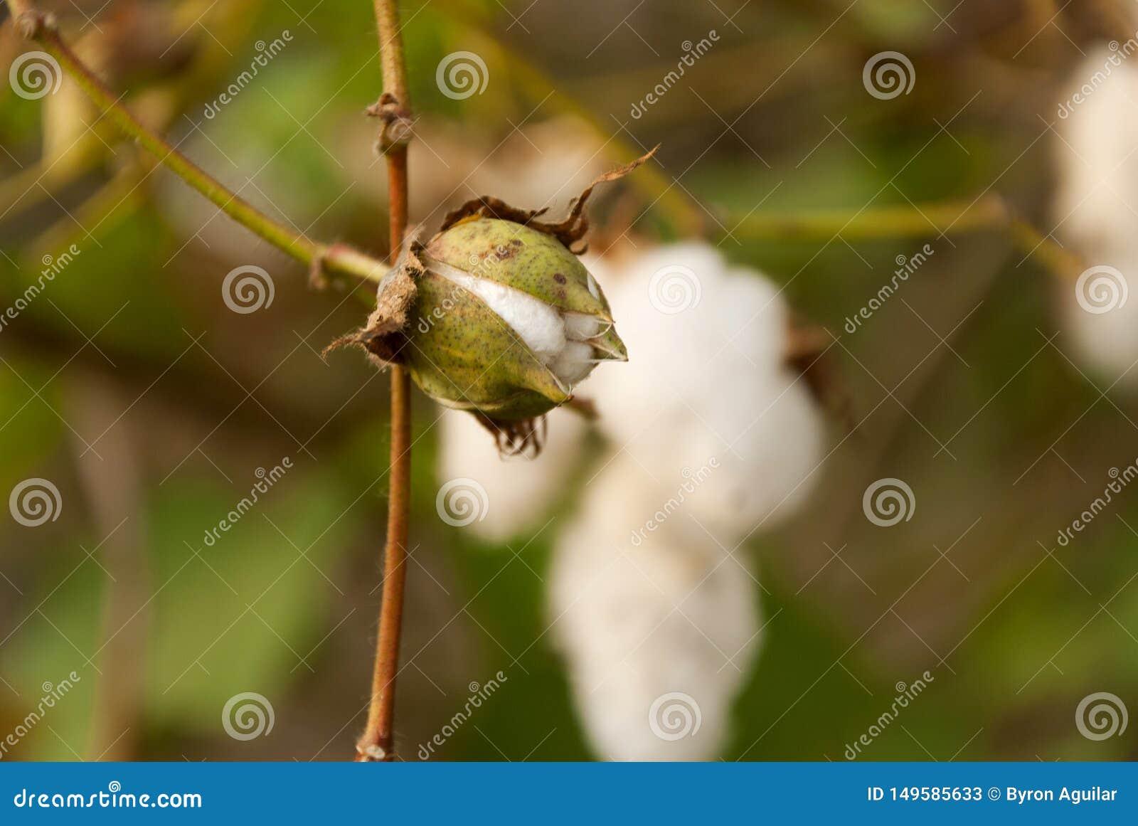 Levant Cotton in Guatemlaa. Gossypiumherbaceum.