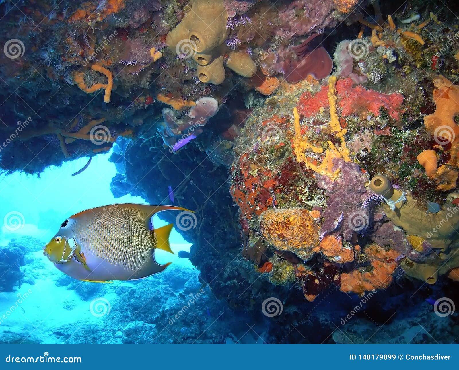 Levendige Coral Reef w Koningin Angelfish