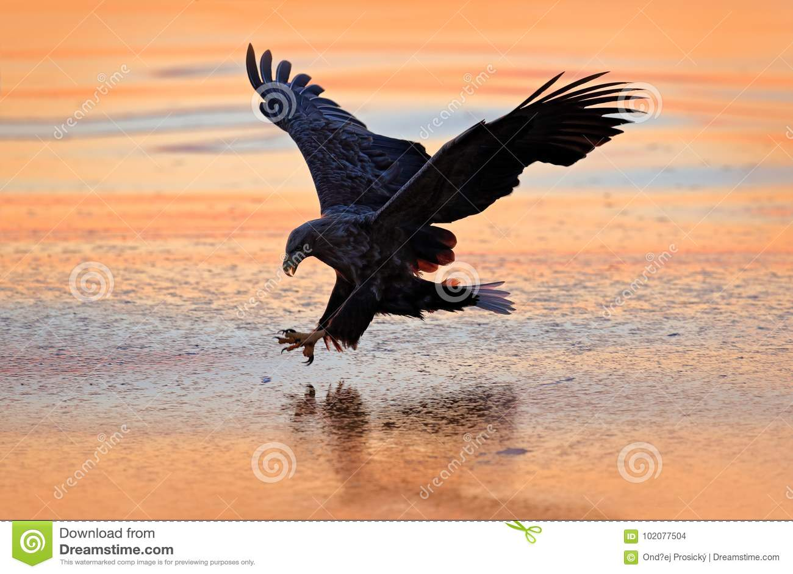 Lever de soleil avec l aigle Chasseur dans le weater Combat d Eagle avec des poissons Scène d hiver avec l oiseau de la proie Gra