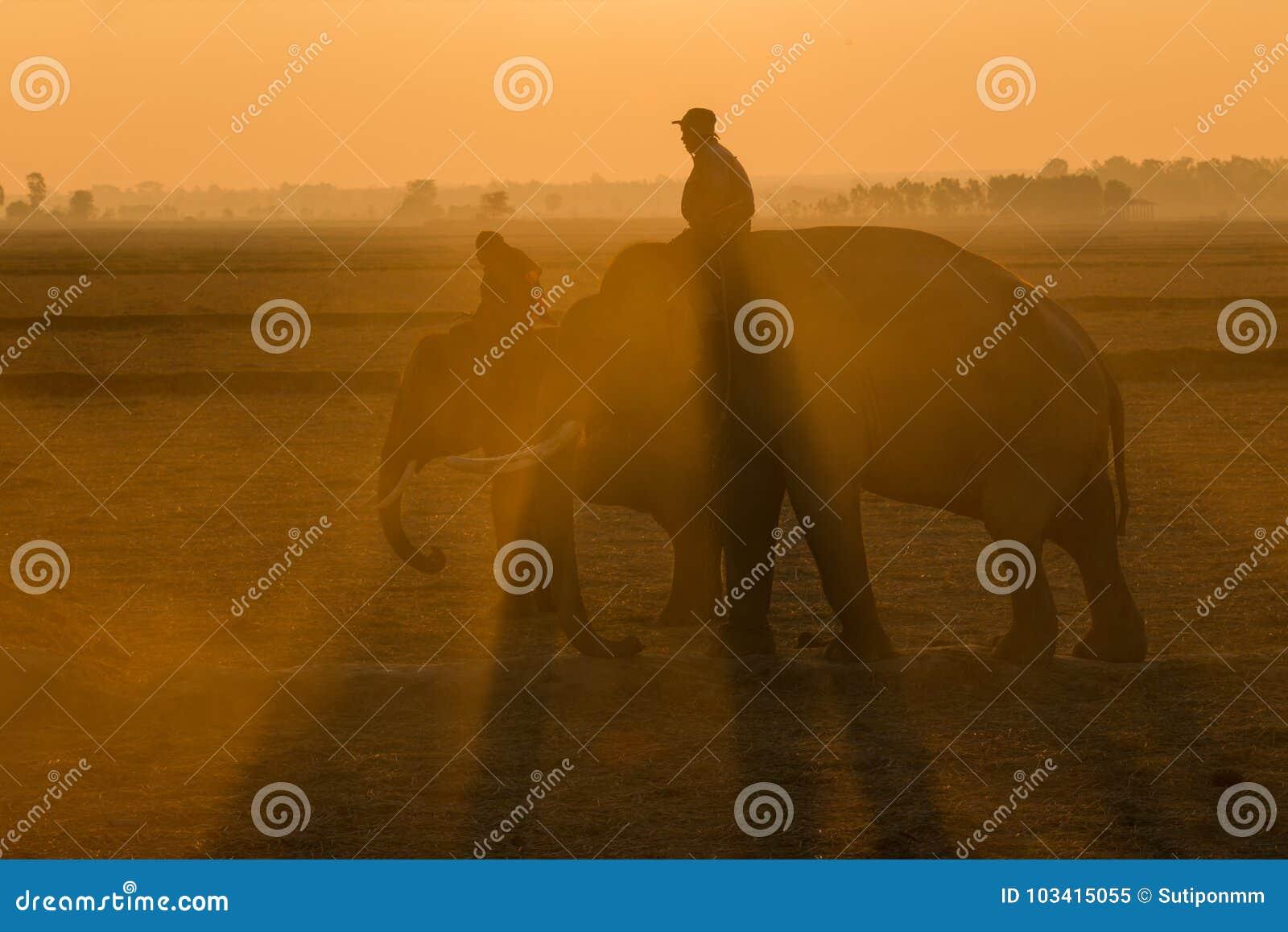 Lever de soleil de silhouette d éléphant de la Thaïlande sur le champ