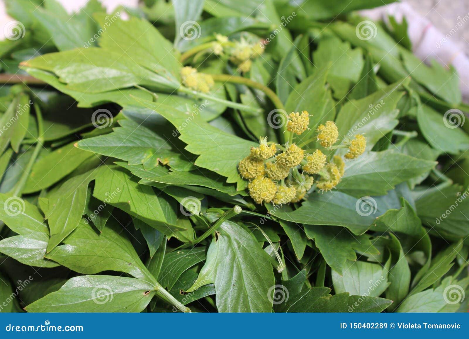 Levisticum officinale, powszechnie nazwana lubczykowa roślina, ziele, pikantność, liście i kolorów żółtych kwiaty, ziarna, przygo