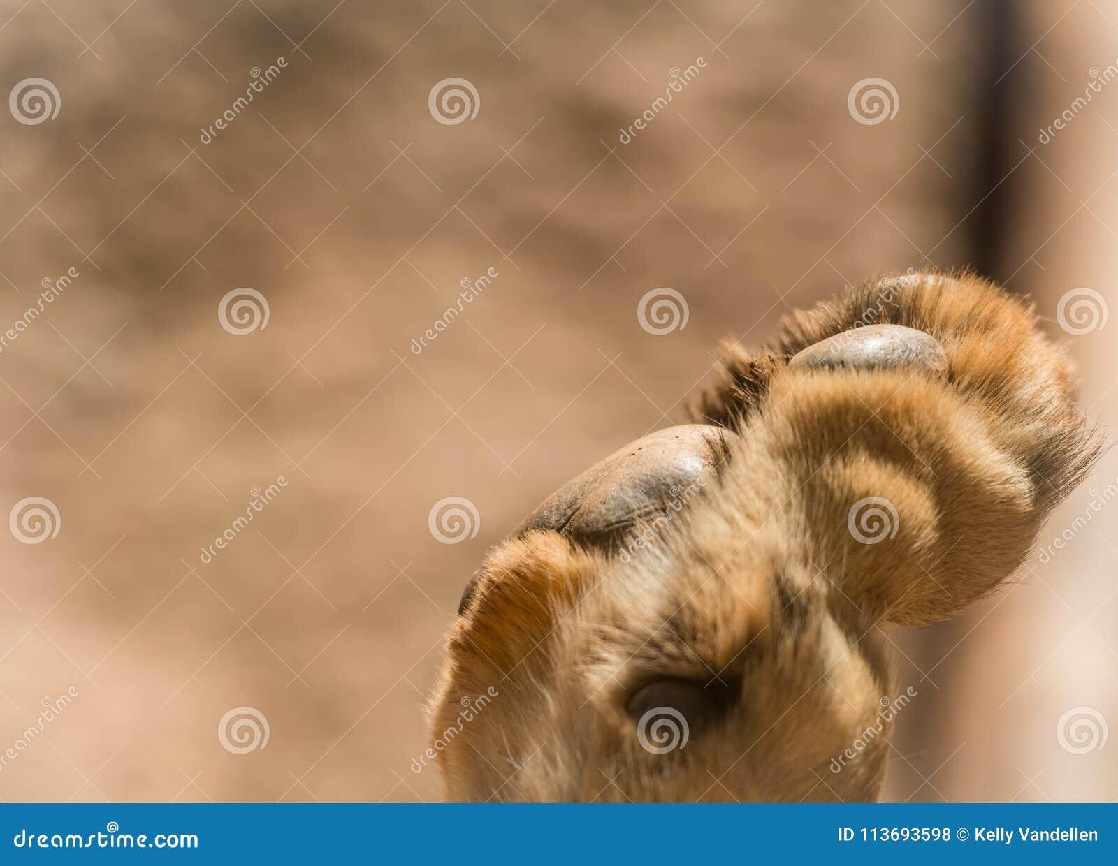 Lew łapa Z kopii przestrzenią