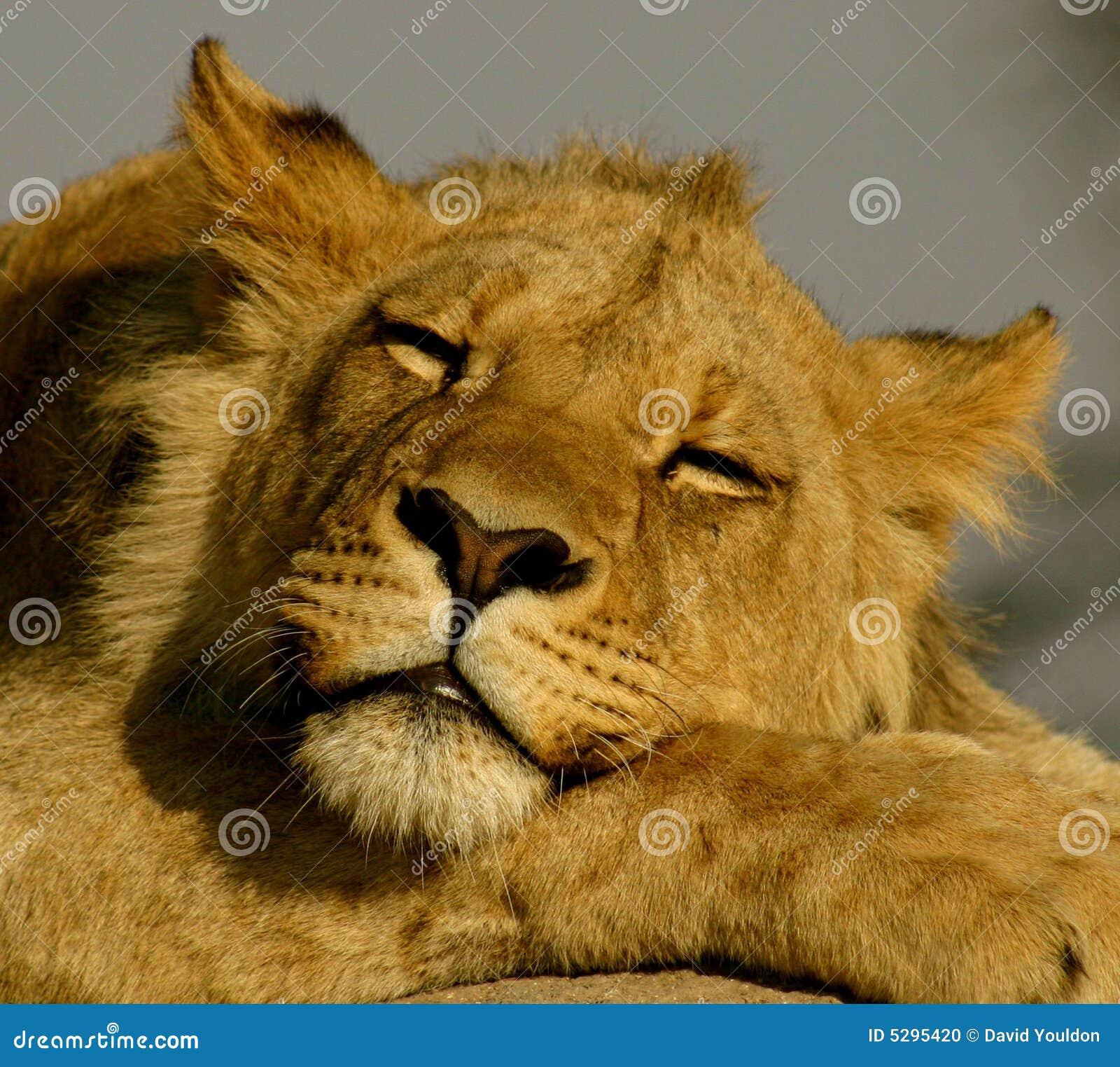 Lew śpi