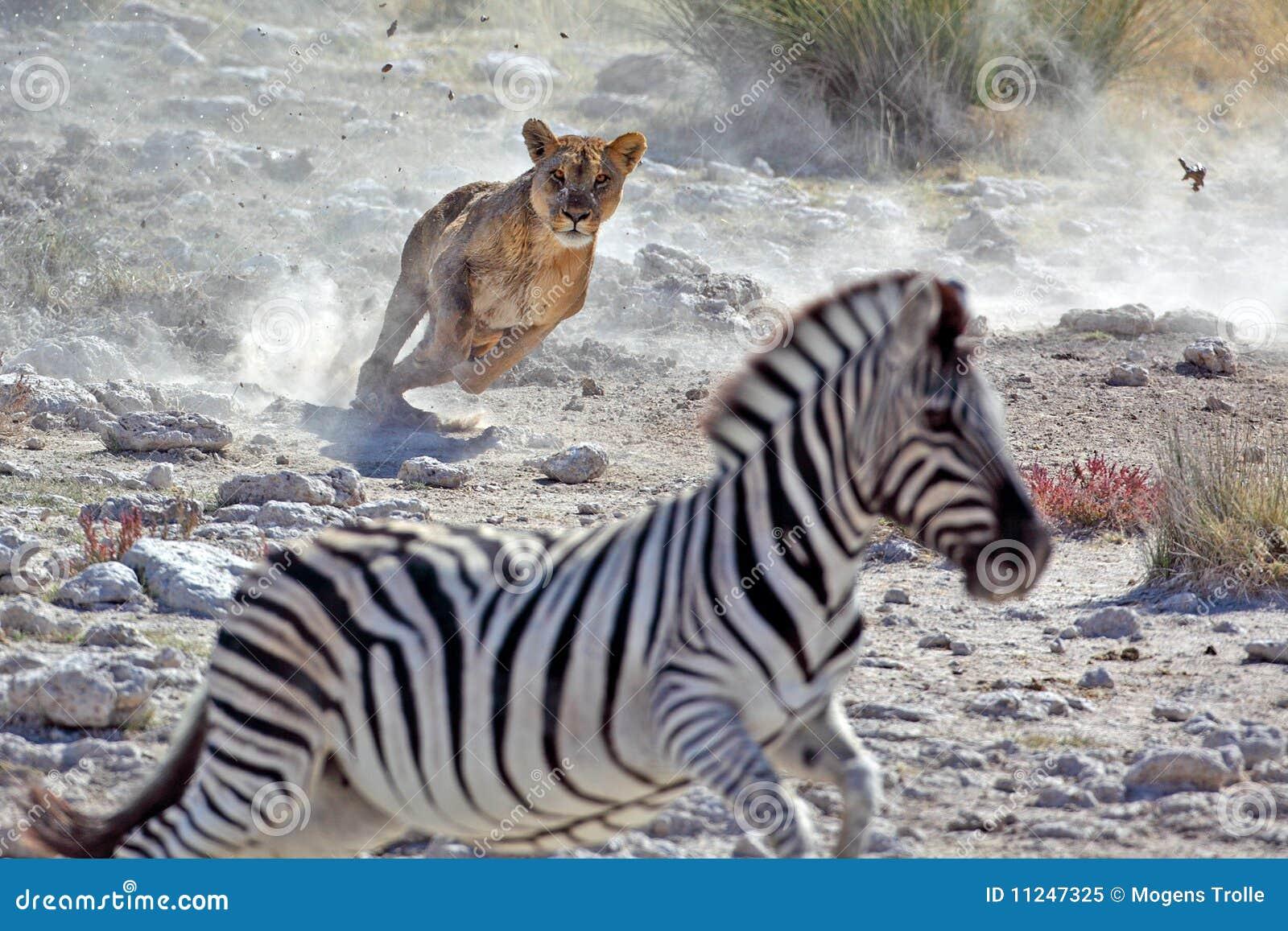 Lew żeńska łowiecka zebra