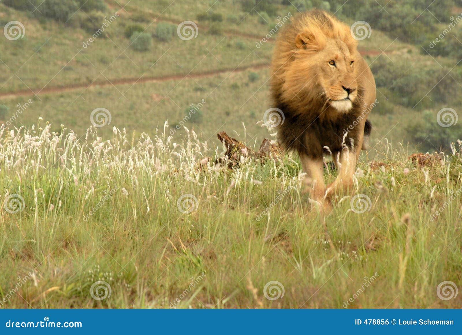 Lew afryce południowej