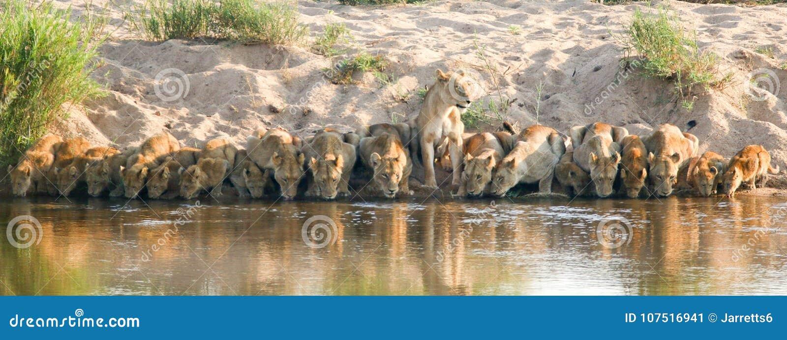Lew duma pije w Kruger parka narodowego południe Africa