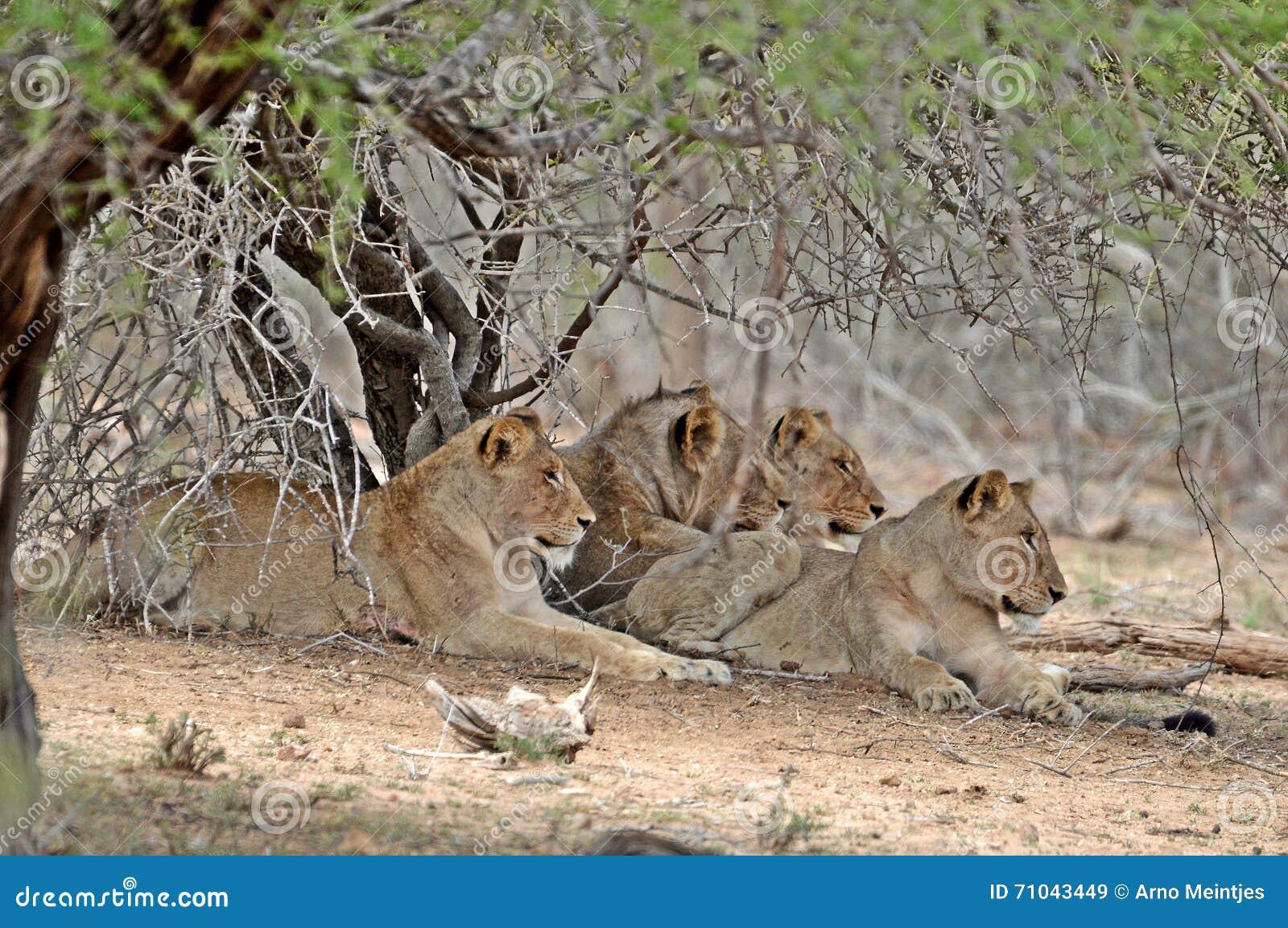 Lew dumy relaksować (Panthera Leo Krugeri)