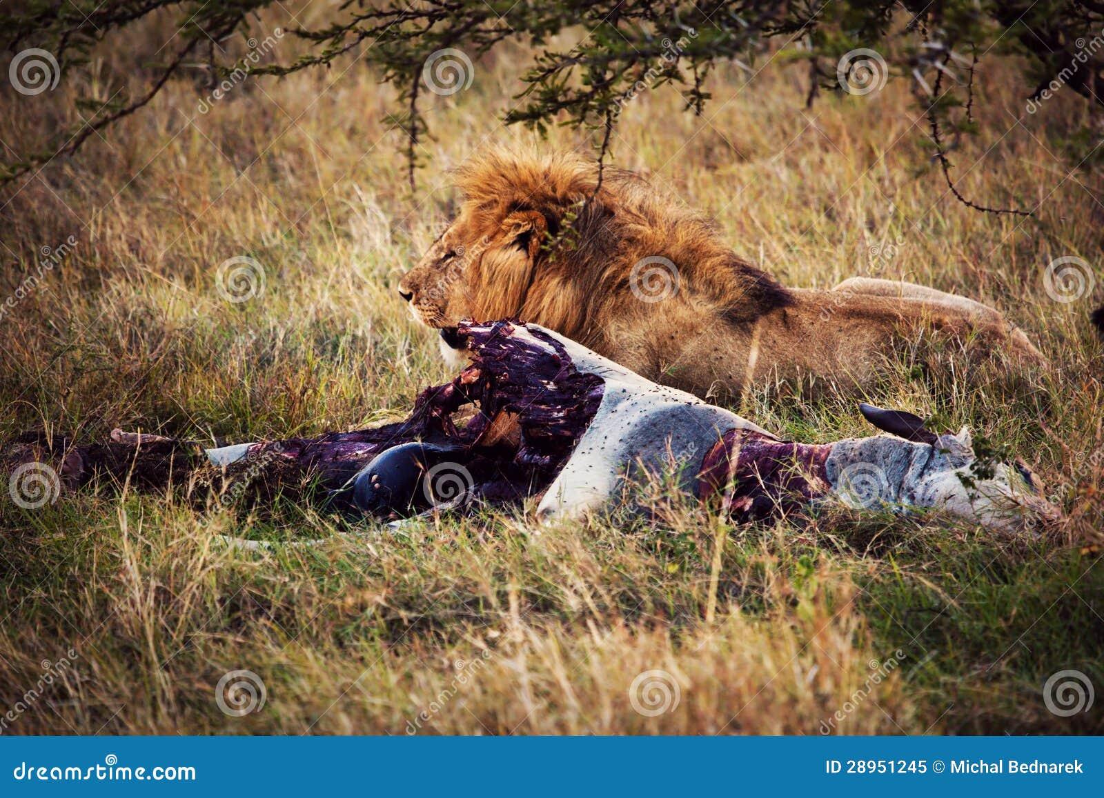 Lew i jego żerujemy na sawannie, Serengeti, Afryka