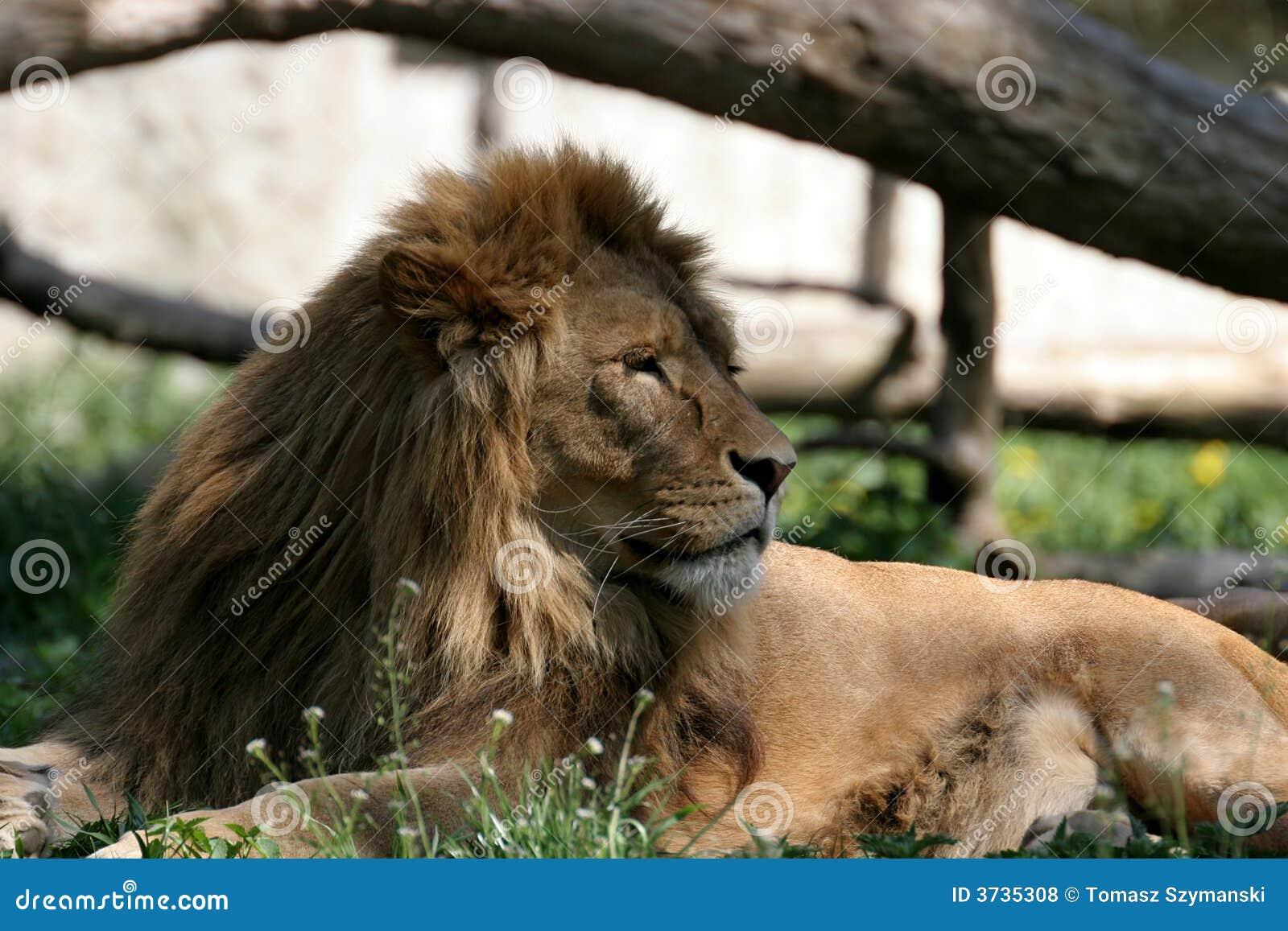 Lew jest portret