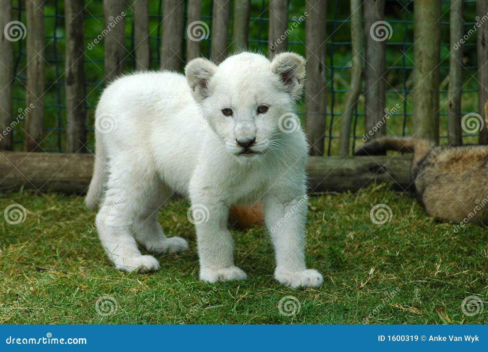 Lew młode white