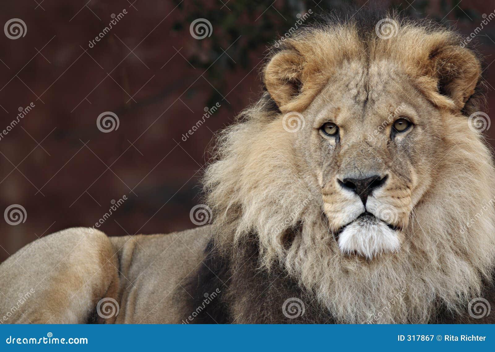Lew majestic