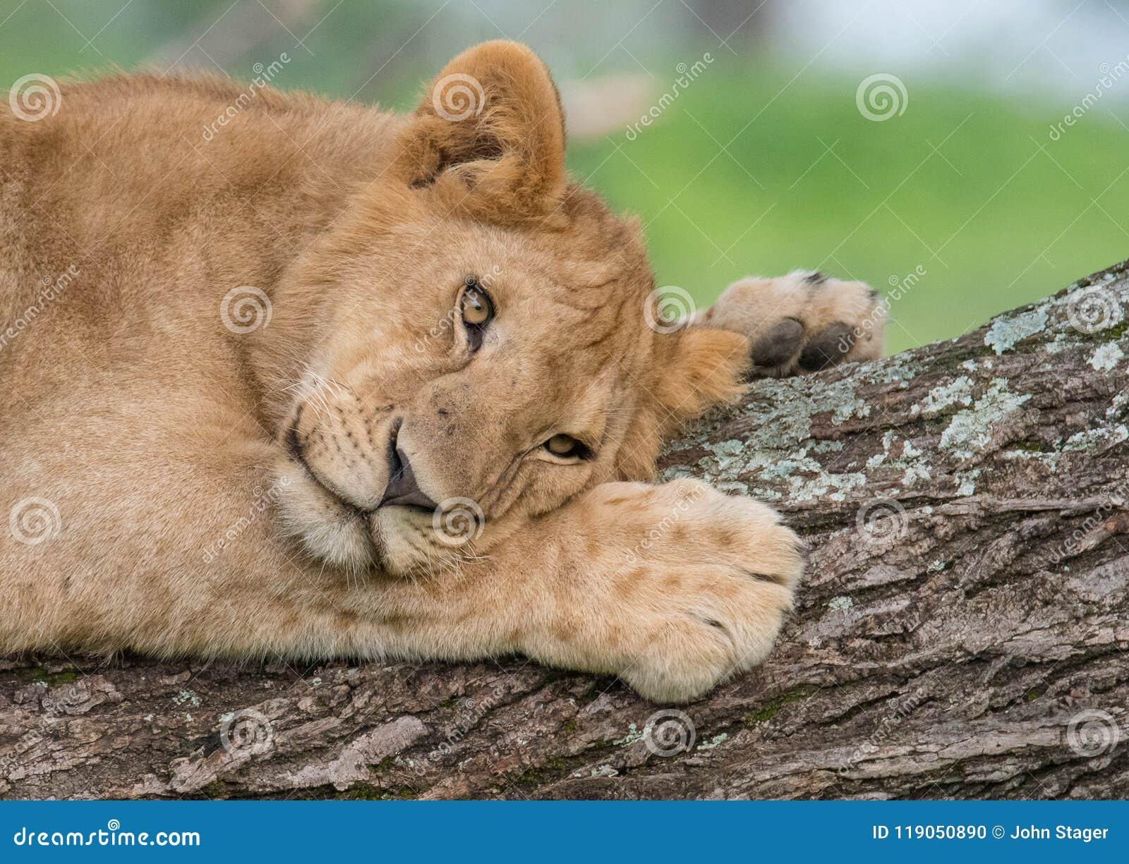 Lew odpoczywa na drzewie