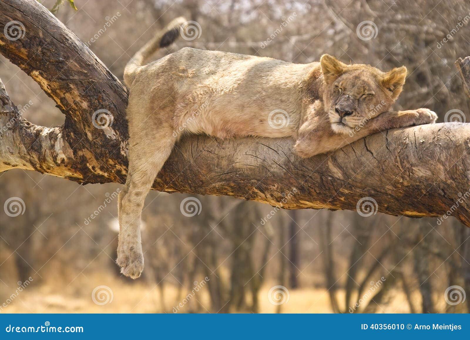 Lew (Panthera Leo), Kruger park narodowy.