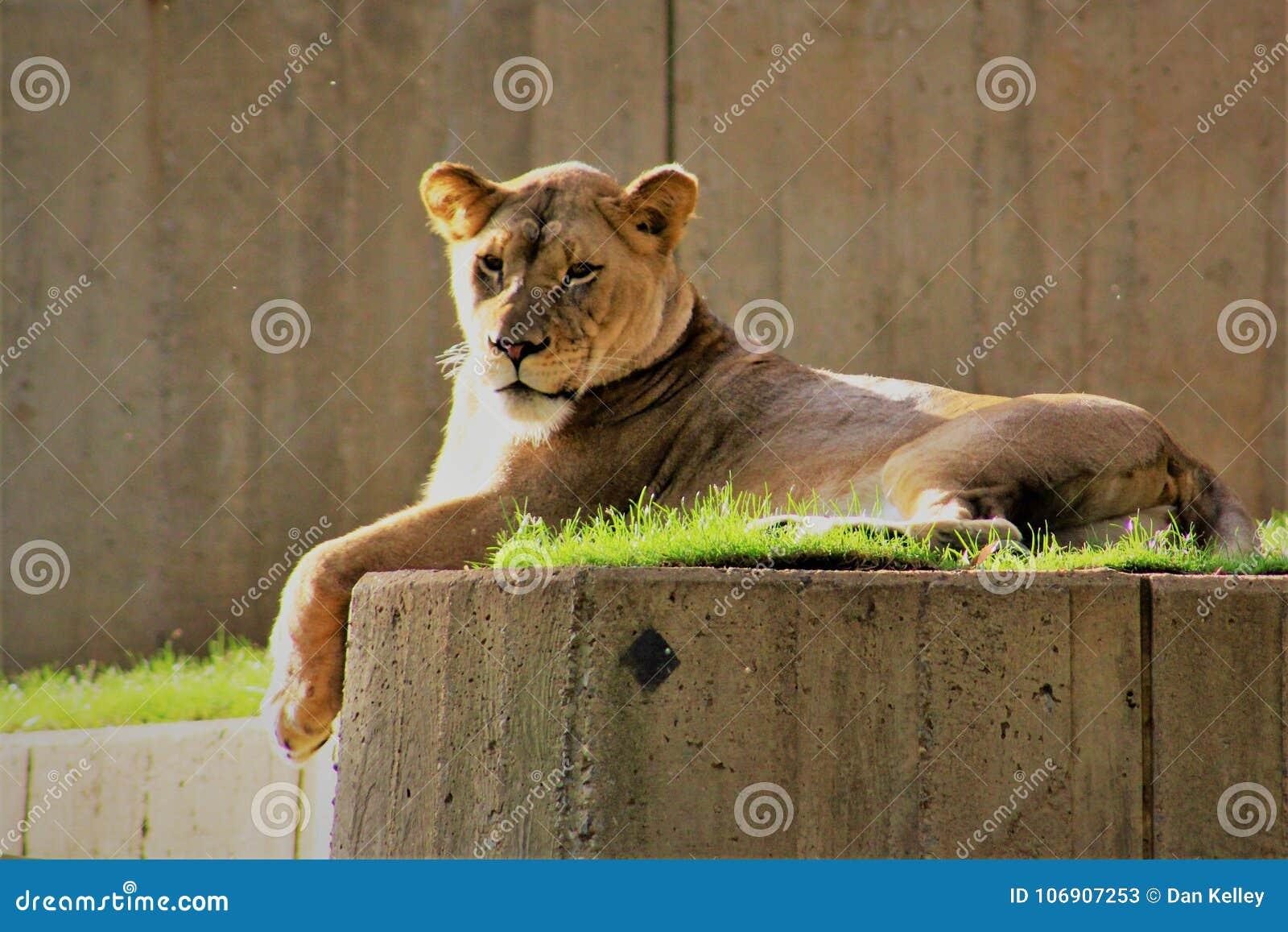 Lew wygrzewa się w ranku słońcu