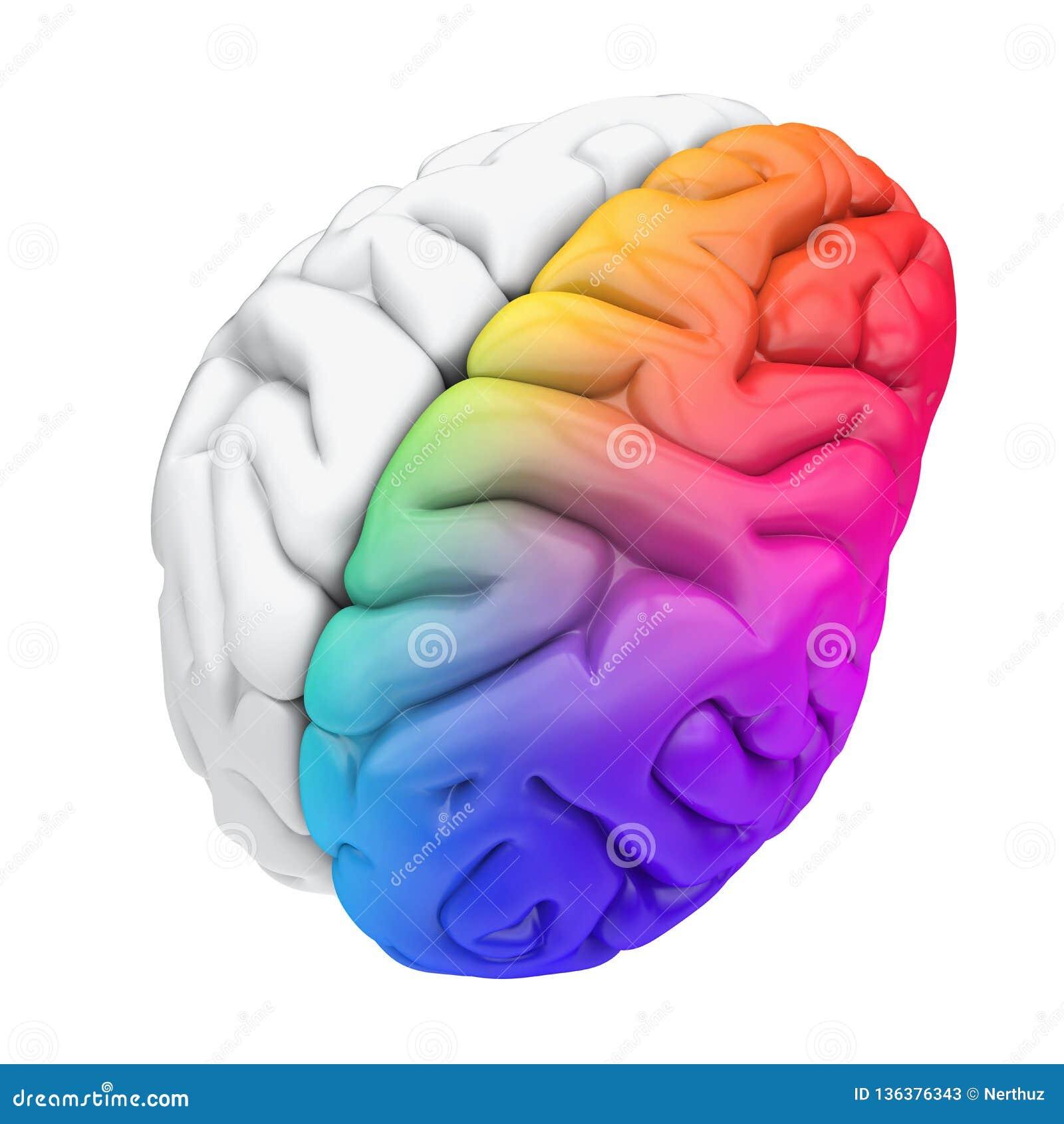 Lewy I Prawy ludzki mózg anatomia Odizolowywająca