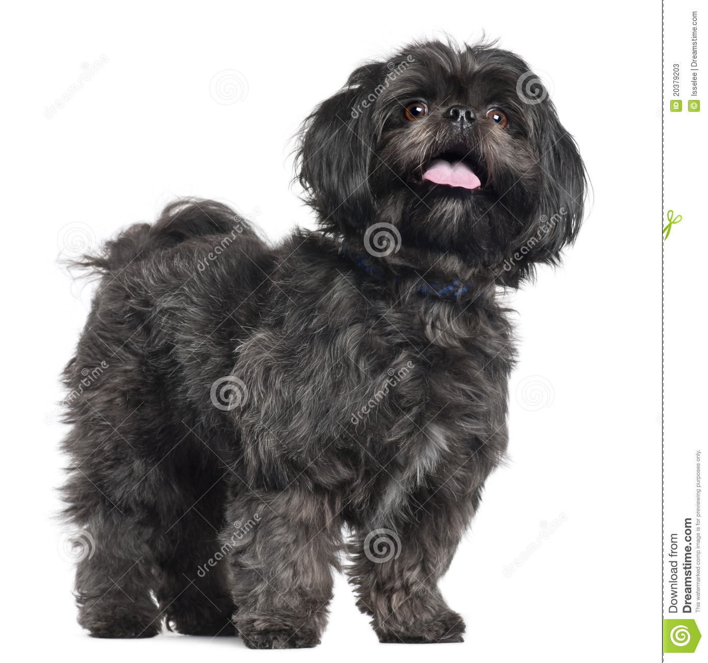Lhasa Apso 2 Years Old Lhasa Apso, 3 Y...