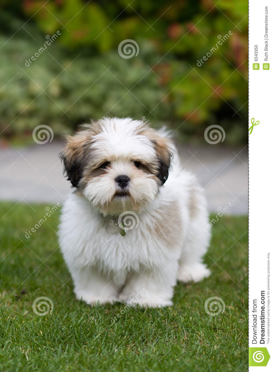 Inquisitive 3 month old lhasa apso puppy.