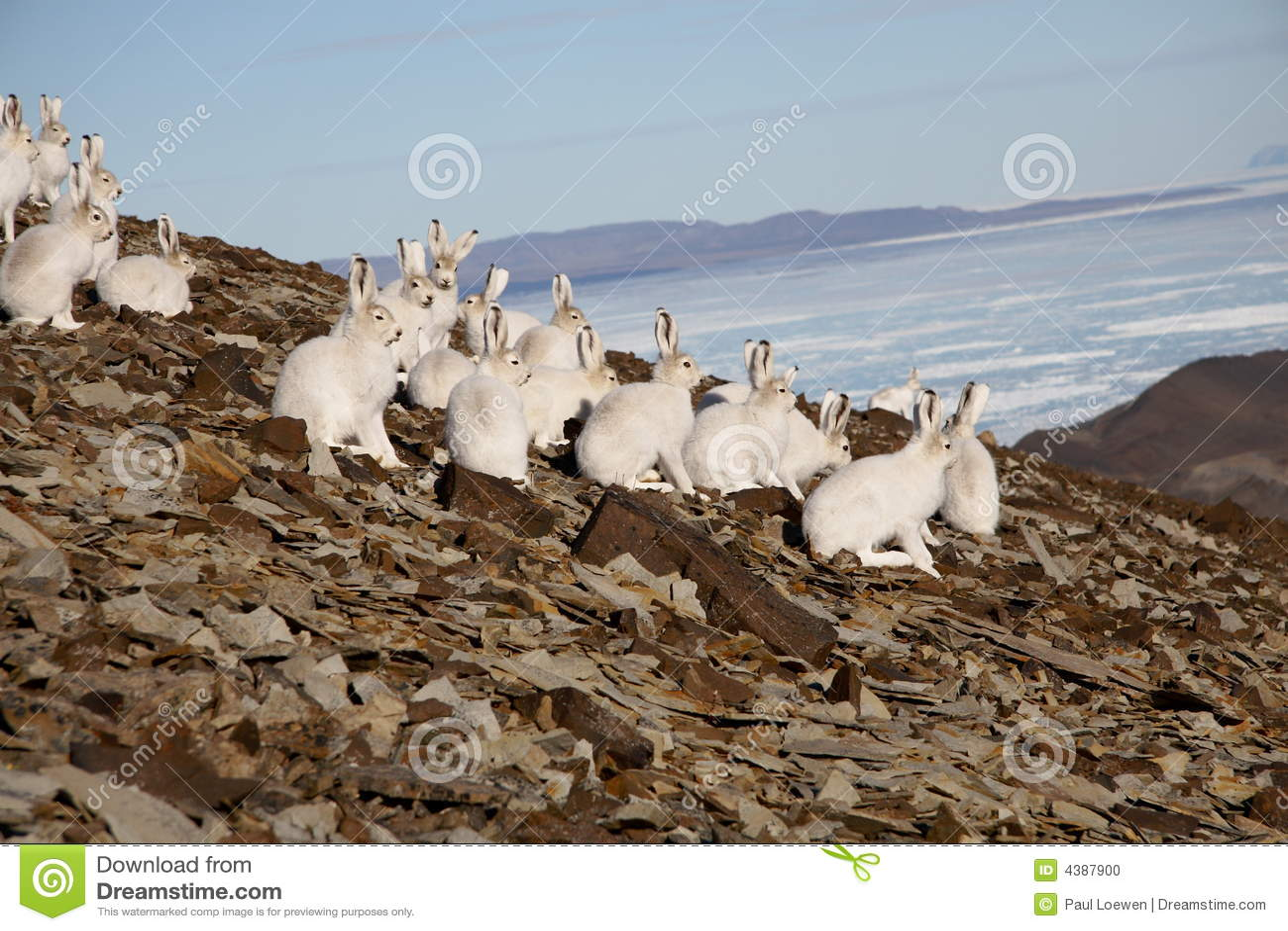 Lièvres arctiques sur un flanc de coteau