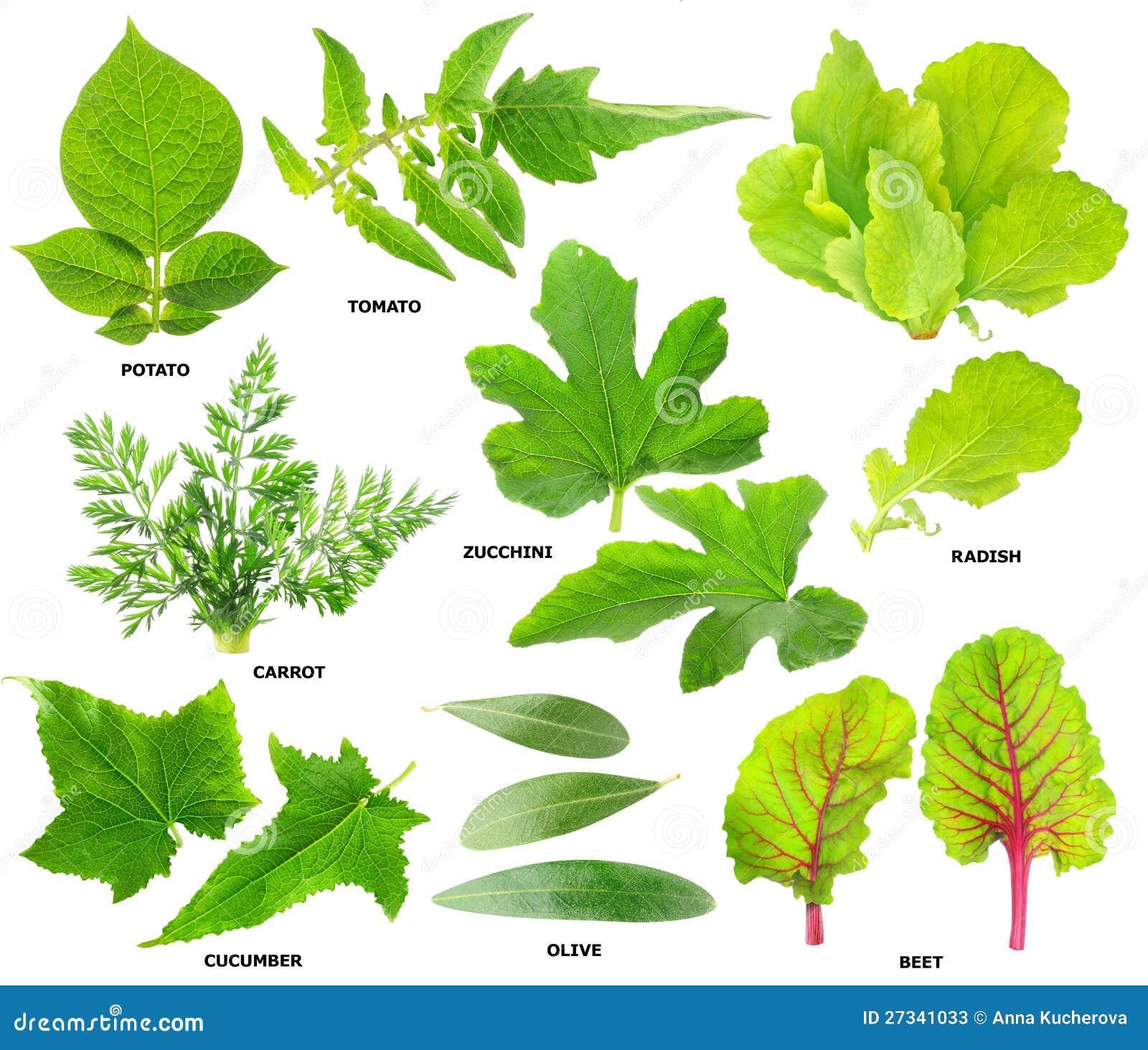 Liść jarzynowe rośliny